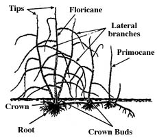 diagram of a raspberry plant